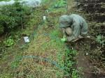 H261021サツマイモ掘りの段取り (12)