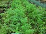 H261021サツマイモ掘りの段取り (17)