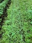 H261021サツマイモ掘りの段取り (19)
