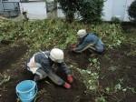 H261021サツマイモ掘りの段取り (3)