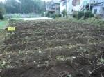 H261021サツマイモ掘りの段取り (7)