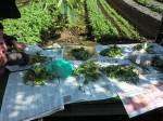 H261025サツマイモ掘り準備 (6)