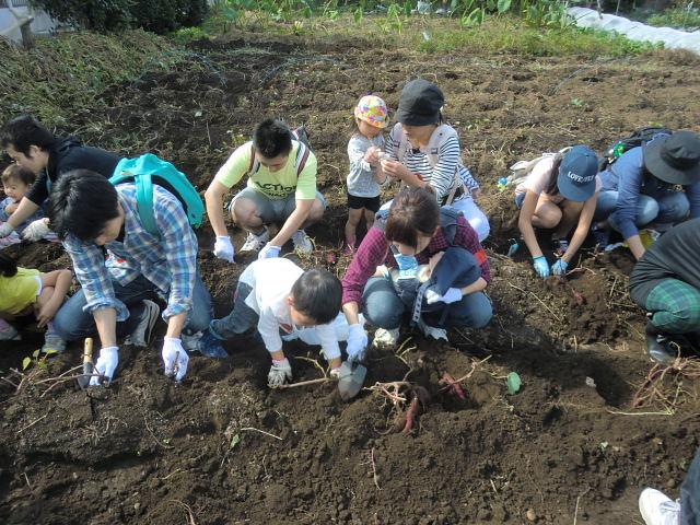 H261026サツマイモ掘り2 (38)