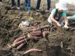 H261026サツマイモ掘り2 (48)