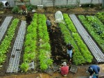 H261221ジャガイモ・サトイモ収穫 (16)