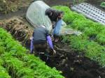 H261221ジャガイモ・サトイモ収穫 (17)