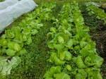 H261221ジャガイモ・サトイモ収穫 (25)