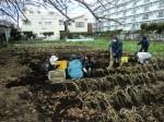 H261221ジャガイモ・サトイモ収穫 (4)