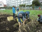 H261221ジャガイモ・サトイモ収穫 (7)