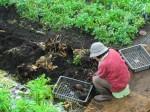 H261221ジャガイモ・サトイモ収穫 (18)
