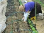 H261221ジャガイモ・サトイモ収穫 (23)
