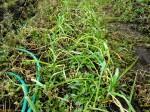 H261221ジャガイモ・サトイモ収穫 (29)