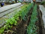 H261221ジャガイモ・サトイモ収穫 (30)
