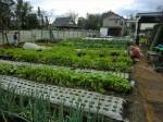 H261221ジャガイモ・サトイモ収穫 (31)
