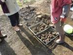 H261221ジャガイモ・サトイモ収穫 (39)