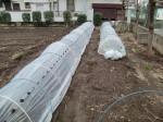 H270303ジャガイモの種植え (13)