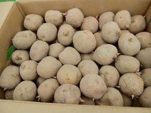 H270303ジャガイモの種植え (5)