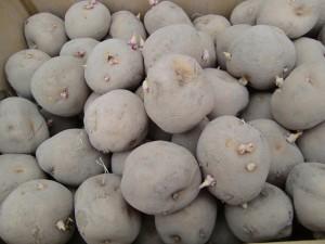H270303ジャガイモの種植え (7)