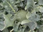 H270303ジャガイモの種植え (12)