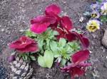 H270303ジャガイモの種植え (27)