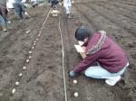 H270309ジャガイモ種植え (18)