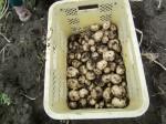H270309ジャガイモ種植え (34)