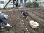H270309ジャガイモ種植え (17)