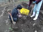 H270309ジャガイモ種植え (39)