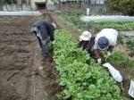 H270309ジャガイモ種植え (47)