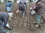 H270309ジャガイモ種植え (8)