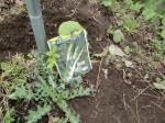 H270322トウモロコシ種まき (13)