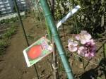 H270322トウモロコシ種まき (23)