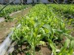 H270502野島農園 (13)
