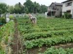 H270518ジャガイモ土かけ作業 (3)