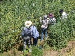 H270521いやし収穫体験・台湾公立TV取材 (3)