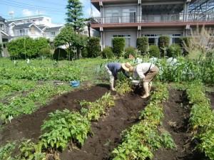H270606ジャガイモ収穫 (2)