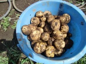 H270606ジャガイモ収穫 (3)
