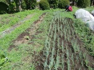 H270606ジャガイモ収穫 (5)