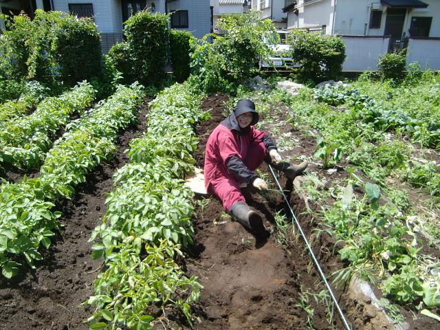H270606ジャガイモ収穫 (9)