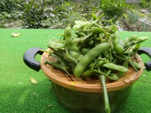 H270613枝豆収穫 (4)