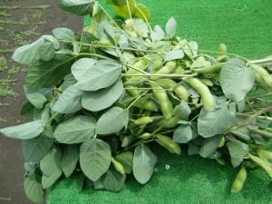 H270613枝豆収穫 (5)