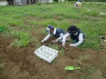 H270810ジャガイモ・トマト収穫 (1)