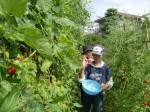 H270810ジャガイモ・トマト収穫 (16)