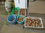 H270810ジャガイモ・トマト収穫 (19)