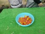 H270810ジャガイモ・トマト収穫 (21)