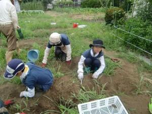 H270810ジャガイモ・トマト収穫 (5)
