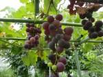 H270810ジャガイモ・トマト収穫 (11)