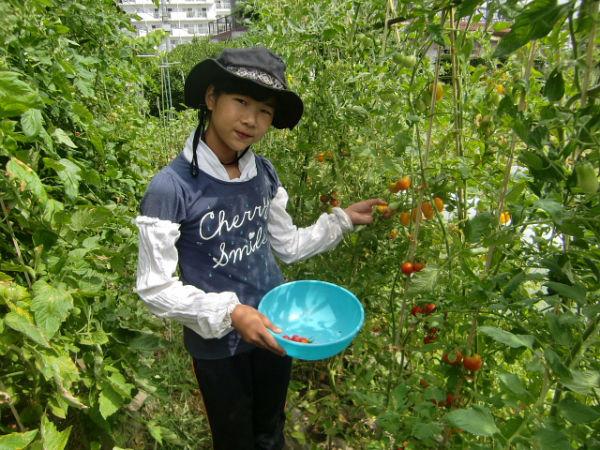 H270810ジャガイモ・トマト収穫 (17)