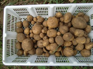 H270810ジャガイモ・トマト収穫 (18)