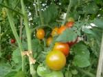 H270810ジャガイモ・トマト収穫 (9)